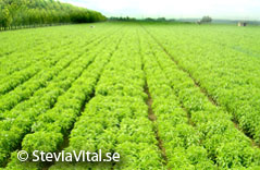 SteviaVital - Stevia cultivation
