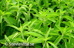 SteviaVital - Stevia shrub - close-up